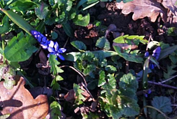 Blaustern blüht an der Weserpromenade …