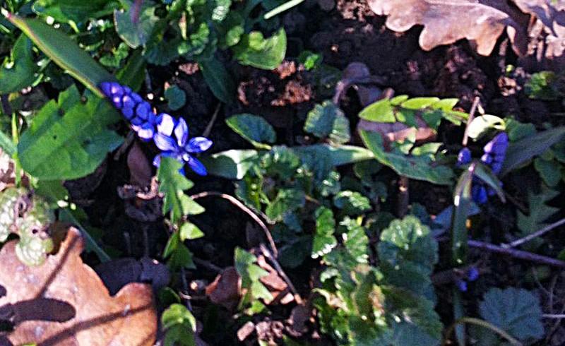 Blau blühende Frühlingsblumen für die Weserpromenade in Minden